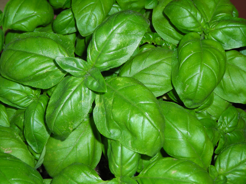 foglie basilico